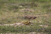 short eared owl-8