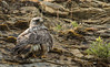 rough-legged hawk-3
