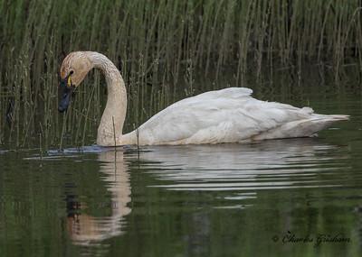 tundra swan-2