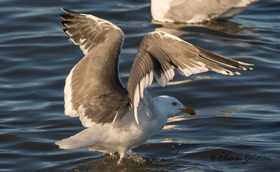 Slaty-backed Gull in Nome, Alaska.