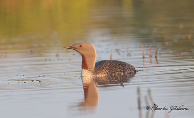 Red-throated Loon in Nome, Alaska.