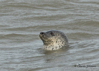 spotted seal-2