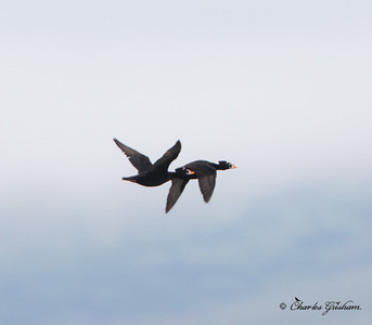Surf Scoters in Teller, Alaska