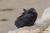 Common Raven in Alaska