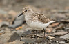 semi-palmated sandpiper-3