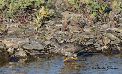 Wandering Tattler in Alaska