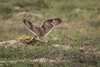 short eared owl-9