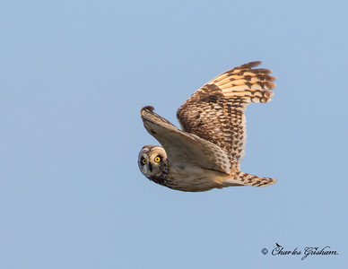 Short-eared Owl in Alaska