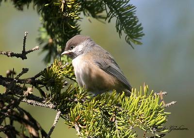 Boreal Chickadee / Alaska / July, 2013 / 6d
