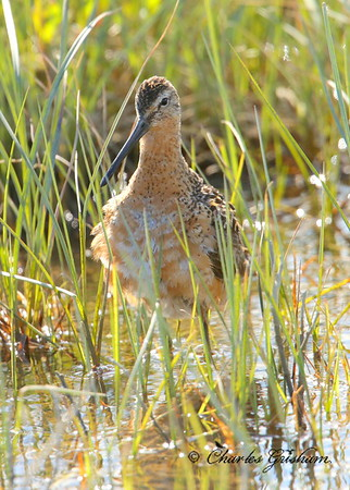 Long-billed Dowitcher Limnodromus scolopaceus Alaska Dalton Highway near Prudhoe Bay (Deadhorse) Canon 6d, Canon 500 F4 IS lens, 1.4x ii converter Shot jpeg, Aperture Priority mode