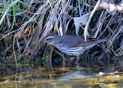 Northern Waterthrush / Northern Alaska / Coldfoot / July 11, 2013 / 6d