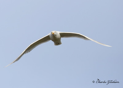 Glaucous Gull / North - Central Alaska / July 7, 2013 / 6d