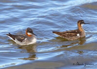 Red-necked Phalarope Phalaropus lobatus July 10, 2013 Alaska, Dalton Highway, Prudhoe Bay / Deadhorse Canon 6d, Canon 500 F4 IS lens, 1.4x ii converter