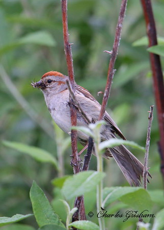 American Tree Sparrow / North - Central Alaska / Dalton Highway within 40 miles of Deadhorse / July 8, 2014 / 6d
