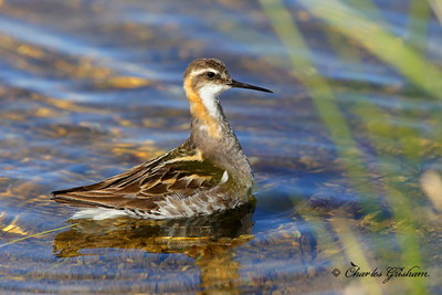 Red-necked Phalarope Phalaropus lobatus July 7, 2013 Alaska, Dalton Highway, Prudhoe Bay / Deadhorse Canon 6d, Canon 500 F4 IS lens, 1.4x ii converter