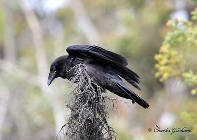 Common Raven/ Alaska / July, 2013