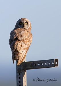 Short-eared Owl Asio flammeus Alaska, Dalton Highway July 11, 2014 Canon 6d, Canon 500 F4 lens, 1.4x ii converter Sunny conditions