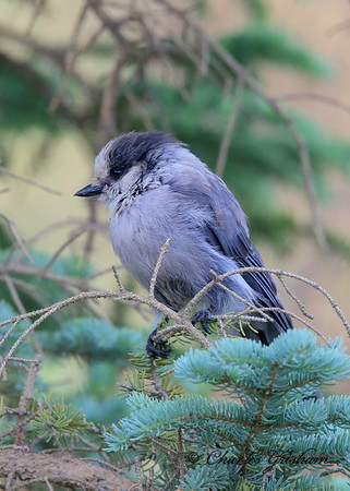 Gray Jay / North - Central Alaska / Dalton Highway south of Atigun Pass / July 7, 2013 / 6d