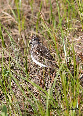 Least Sandpiper Calidris minutilla Alaska, near Deadhorse July 7, 2014 Canon 6d, Canon 500 F4 IS lens, 1.4x ii converter Hanging out in the tundra around the Willow Ptarmigans I was after.