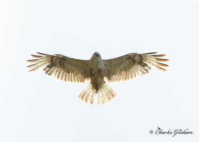 Rough-legged Hawk / Northern Alaska soaring over Arctic Tundra found north of Atigun Pass off of Dalton Highway / July, 2013 / 6d