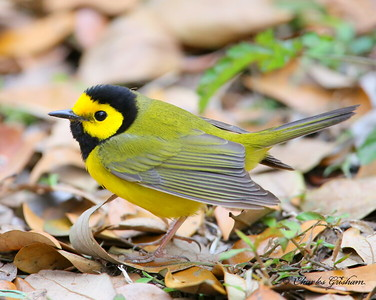 Hooded Warbler Setophaga citrina Dauphin Island March 26, 2014 Canon 6d camera (full frame) Canon 500mm IS lens ISO 3200 f5.6 1/320 shot handheld