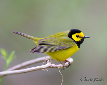 Hooded Warbler  Setophaga citrina  Dauphin Island  March 26, 2014 Canon 6d camera (full frame) Canon 500mm IS lens ISO 2500 f6.3 1/250 shot handheld