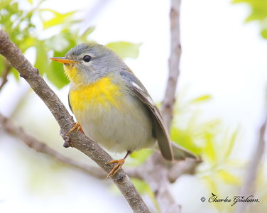 Northern Parula Setophaga americana  Dauphin Island March 26, 2014 Canon 6d camera (full frame) Canon 500mm IS lens w/Canon 1.4x II extender ISO 1600 f7.1 1/1250 shot handheld