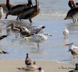 Iceland Gull Larus glaucoides Jacksonville, Florida Hugeonot Beach Canon 6d Charles Grisham July 24, 2014