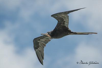 Magnificent Frigatebird in Puerto Rico