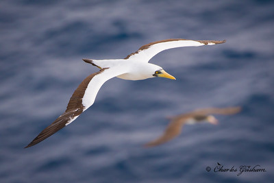 Masked Booby (Sula dactylatra) approximately 100 miles off the western coast of Saint Martin in the Caribbean on 6/6/18. This large species spends most of its life flying across tropical oceans with warm waters, usually only coming to shore in order to nest. This guy and some Brown Boobies (you can see one in the background of this photo), were using the cruise ship we were on to hunt the flying fish that the ship was rousting.