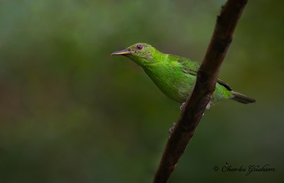 Female, Green Honeycreeper
