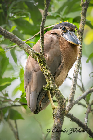 Boat-billed Heron from La Fortuna, Costa Rica.