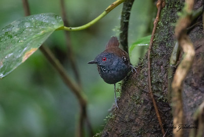 Dull-headed Antbird