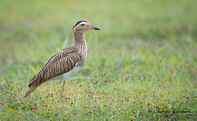 Double-striped Thick-knee.