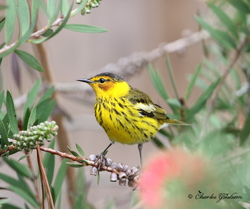 Cape May Warbler (male)
