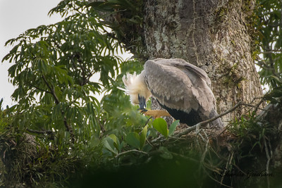 Harpy Eagle in Gareno, Ecuador.  Check out those talons!!!