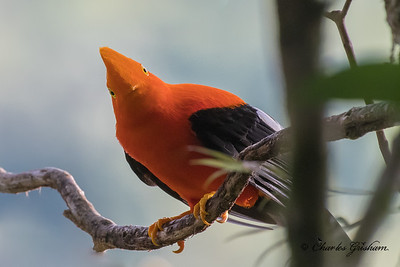 Andes Cock-of-the-rock (eastern subspecies)