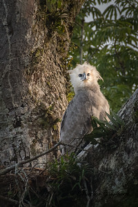Harpy Eagle in Gareno, Ecuador.