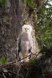 Harpy Eagle in Gareno, Ecuador on 10/10/17.