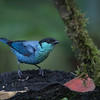 Male Black-capped Tanager
