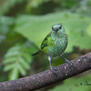 Female Black-capped Tanager.