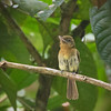 Fulvous-breasted Flycatcher