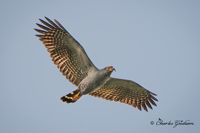 Hook-billed Kite in western Ecuador on 10/9/17.