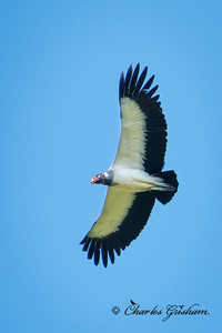 King Vulture in Gareno, Ecuador