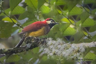 Crimson-mantled Woodpecker (Piculus rivolii) at San Isidro,  Ecuador, 2/22/18.