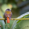Ornate Flycatcher at Sumaco