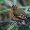 Cinnamon Flycatcher at San Isidro