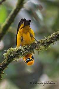 Golden Tanager (eastern sub.) at Wild Sumaco, Ecuador on 2/20/18.