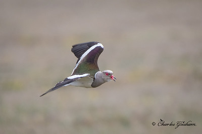 Andean Lapwing (Vanellus resplendens) at the Antisana Ecological Preserve in Ecuador on 2/18/18.