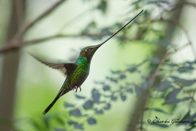 Sword-billed Hummingbird at Guango Lodge in Ecuador. 2/22/18. No flash used and the bird was in some bad (dark) light, but twas the best shot I could get of this species while in Ecuador. I plan to do some multi-flash photography next time to get photos that really show the beauty of these guys. But still, what a beak!! Nikon d500 w/200-500 lens.